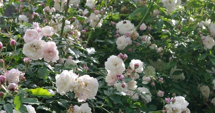 rudolfs park historischer rosen wei wei er wei. Black Bedroom Furniture Sets. Home Design Ideas