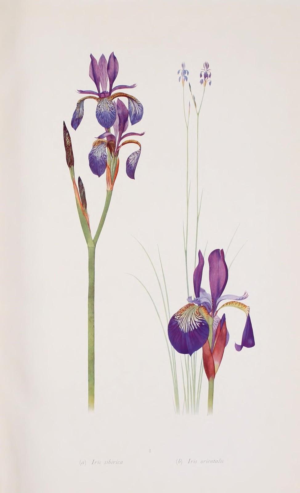 flor de lirio siberiano y lirio oriental color azul y púrpura