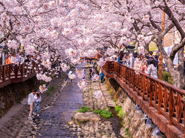 Honeymoon ke Korea Selatan - Jinhae Gunghaje Festival