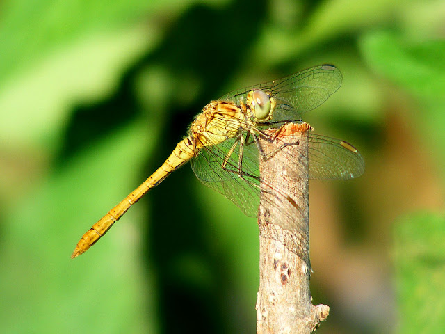 Teneral male Common Darter Sympetrum striolatum. Charente-Maritime. France. Photo by Loire Valley Time Travel.