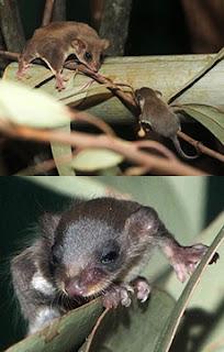 チビフクロモモンガ赤ちゃん日本初繁殖