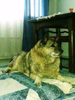 Likka, vanha koira