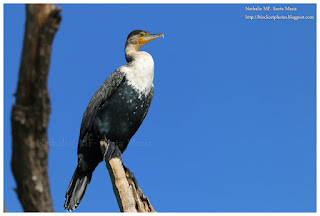 https://bioclicetphotos.blogspot.fr/search/label/Cormoran%20%C3%A0%20poitrine%20blanche%20-%20Phalacrocorax%20lucidus