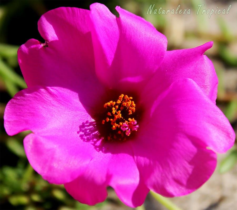 Flor fantástica de la planta suculenta Portulaca grandiflora, conocida popularmente como Verdolaga de Flor o Verdolaga Mayor