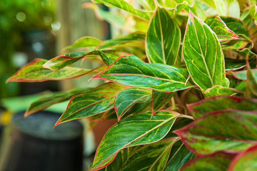 gambar tanaman aglaonema