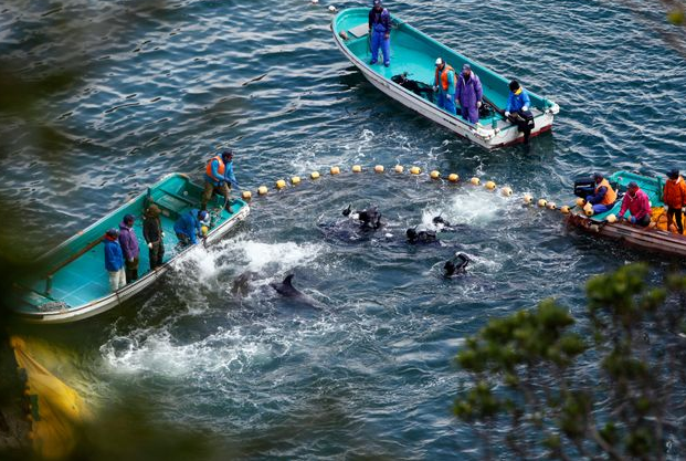 Εν μέσω διεθνών αντιδράσεων ξεκίνησε το μακάβριο κυνήγι των δελφινιών στην Ιαπωνία