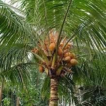 Manhaj شجرة جوز الهند