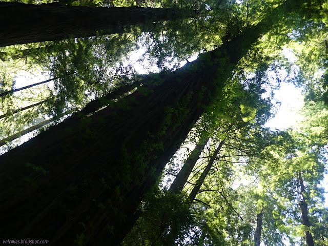 poison oak climbing high