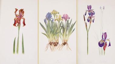 Dykes y el género Iris con ilustraciones botánicas: The Genus Iris