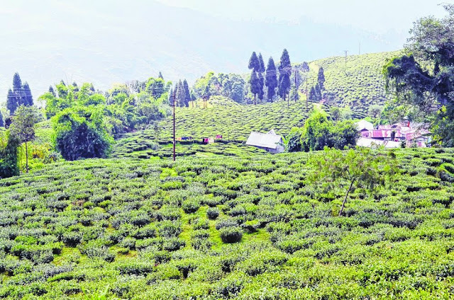 A deserted Happy Valley tea garden in Darjeeling on Tuesday.