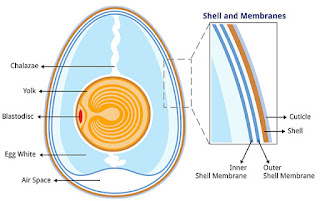 parts and classification of egg