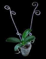 pęd kwiatowy storczyka
