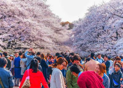 Hanami Di Jepang