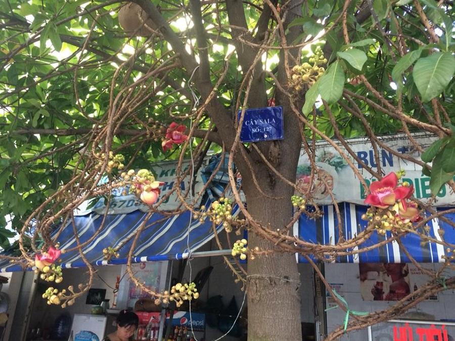 cây sala tại thành phố sa đéc ảnh 1