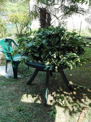 Raccogliere nell'orto erbe da seccare: alloro