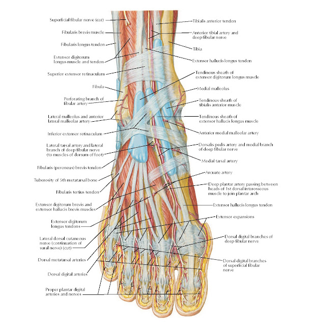 Muscles of Dorsum of Foot: Superficial Dissection Anatomy