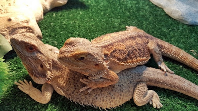 bearded dragons laying on each other
