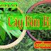 Cây bìm bịp, cây xương khỉ, cây ngãi Bìm bịp chữa ung thư Châu á đang tìm mọc nhiều ở Việt Nam