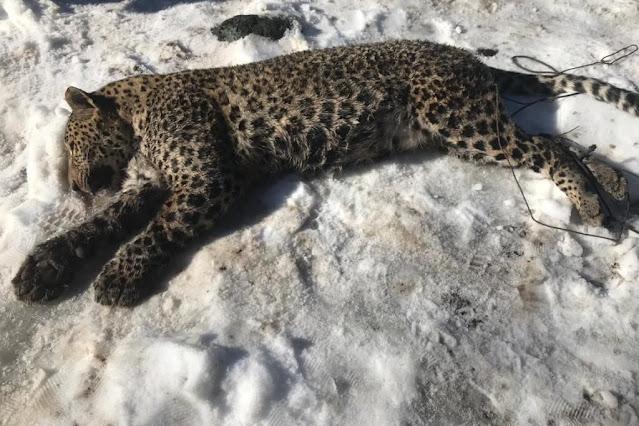 Браконьеры убили леопарда Килли, выращенного в сочинском Центре восстановления переднеазиатского леопарда на Кавказе