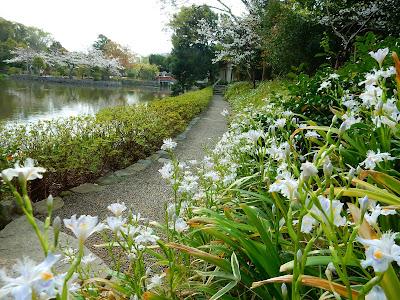 鶴岡八幡宮のシャガ