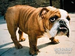 alinhamento dentário em cães