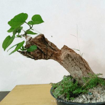 Bonsai Waru