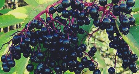cai beri adalah jenis buah berry yang berkhasiat untuk obat anti kanker (cancer)
