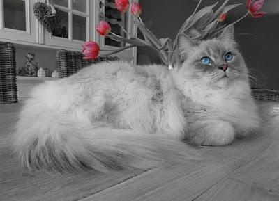 قطة الراغدول الجميلة