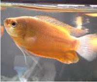 Gourami Thicklip jenis jenis ikan hias