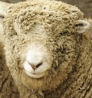 Babydoll Southdown Sheep Characteristics, Wool, Meat Quality
