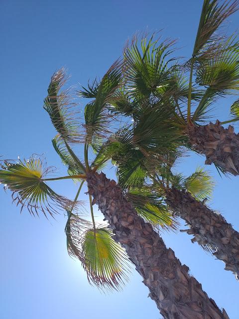 Palmtrees by La Mirada pool in La Zenia Spain