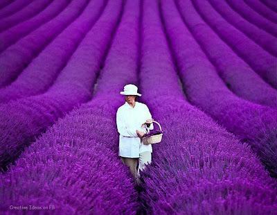 perempuan berjalan di tengah ladang bunga lavender