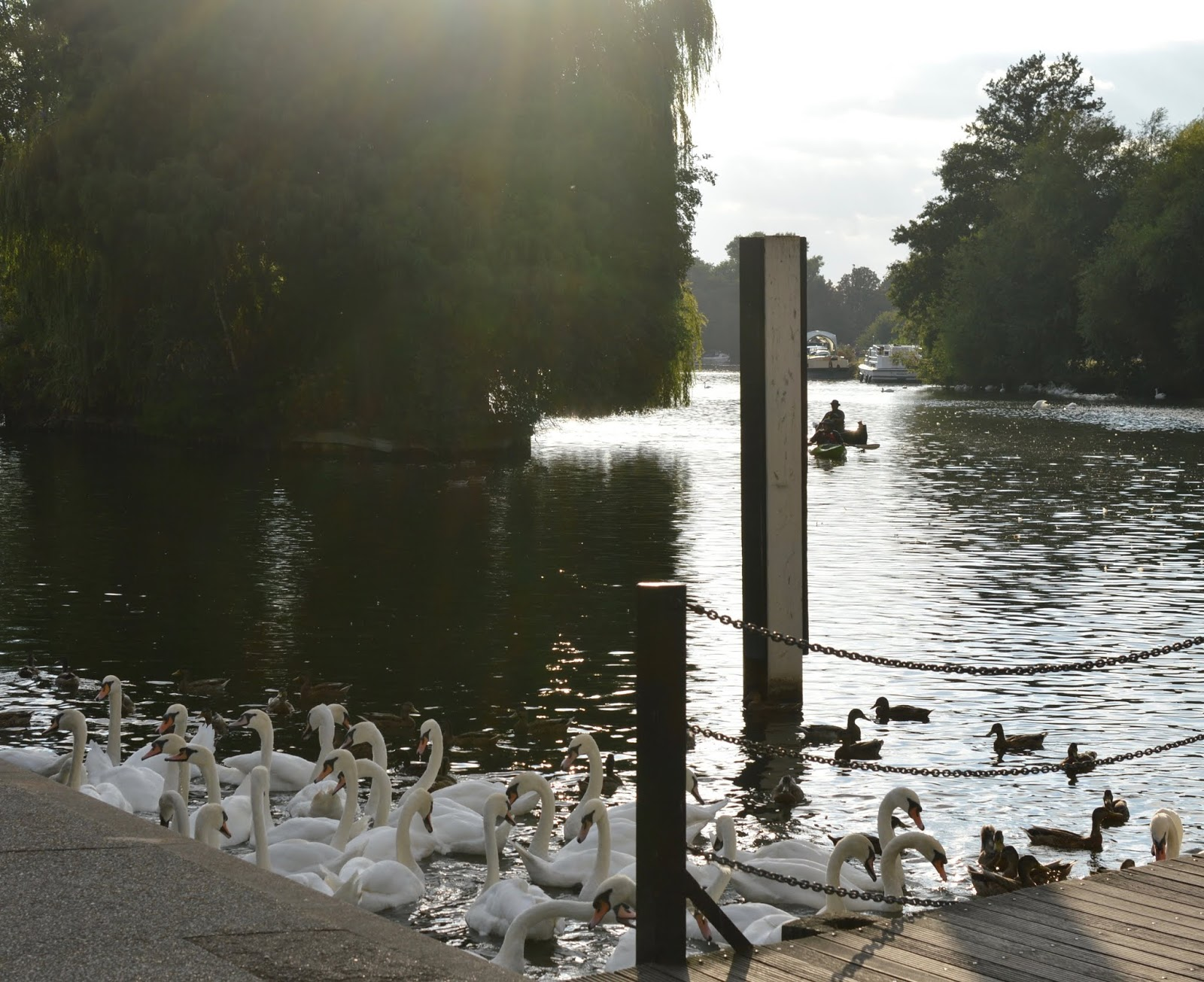 A Short Stay in Windsor with Kids  - river thames swans