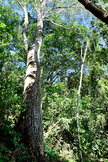 Large Tree in Puriscal