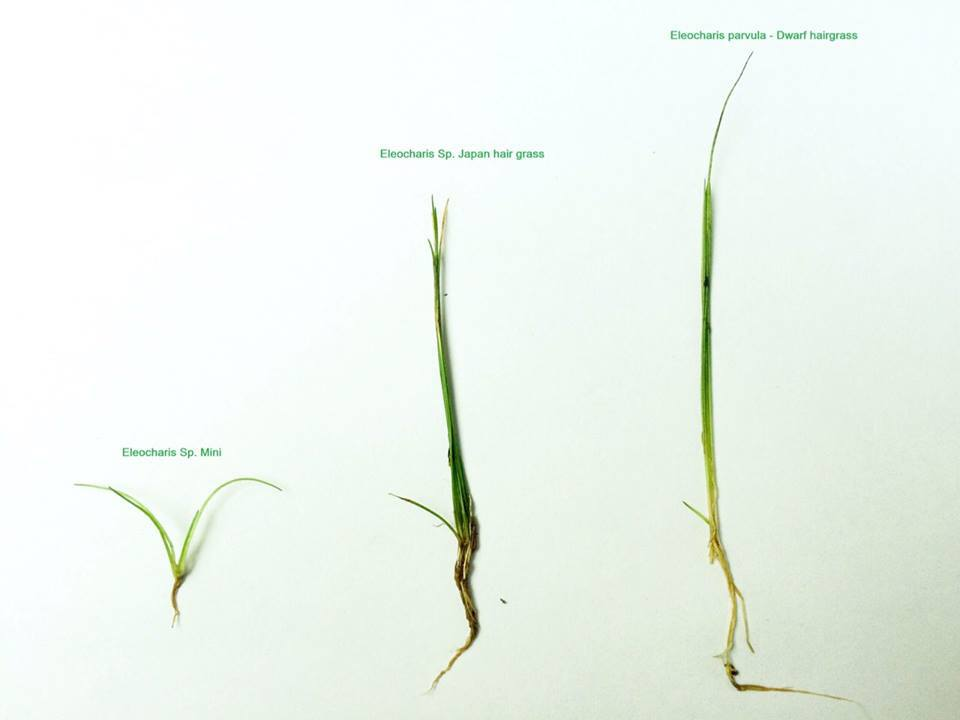eleocharis parvula dwarf hairgrass eleocharis sp japan hairgrass eleocharis sp mini