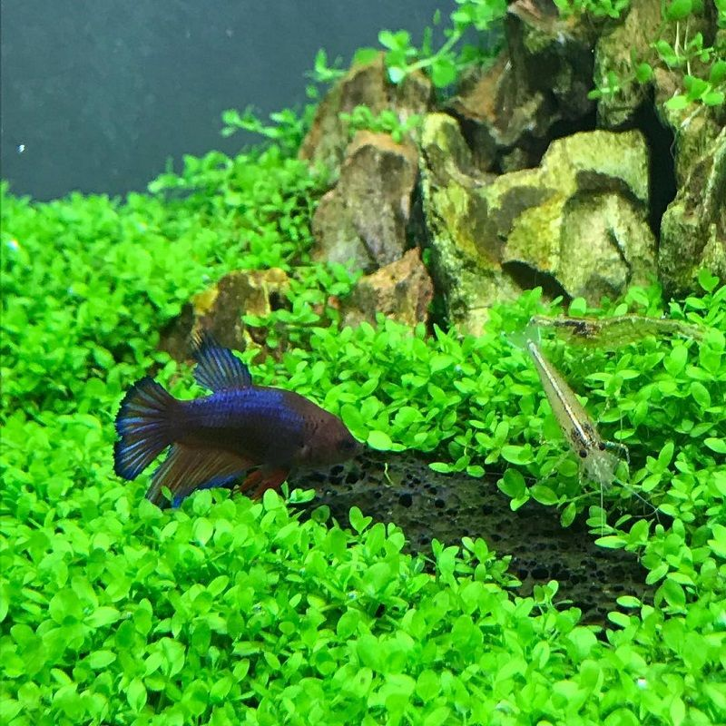 Want to Know More About Betta Buddy Plant