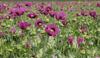 ওপিয়াম (Opium) [ আফিং]