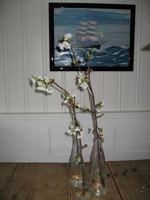 Morellkvister i blomst i stuen på hytta