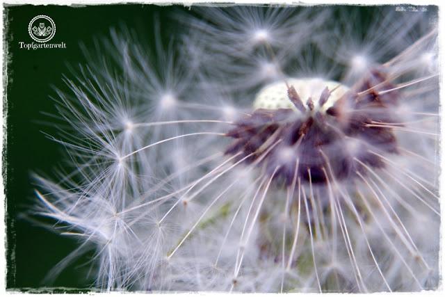 Gartenblog Topfgartenwelt Buchtipp Makrofotografie - die große Fotoschule: Makrofotografie Ausrüstung für Laien - Löwenzahn
