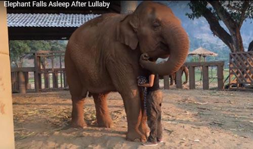 Gajah ini Langsung Tidur ketika dinyanyikan Lagu Nina Bobo