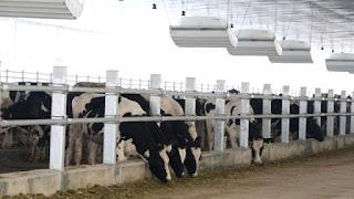 keadaan sapi perah yang ada di kandang