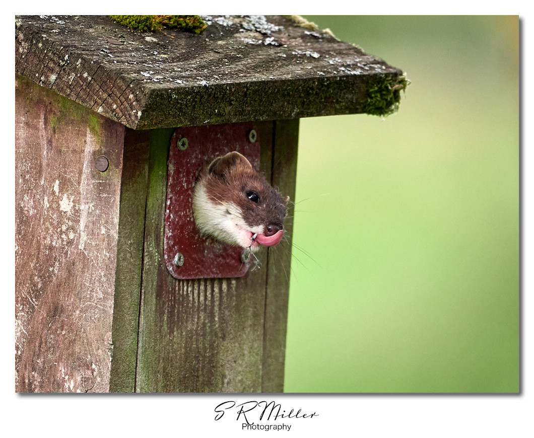 Stoat in nest box