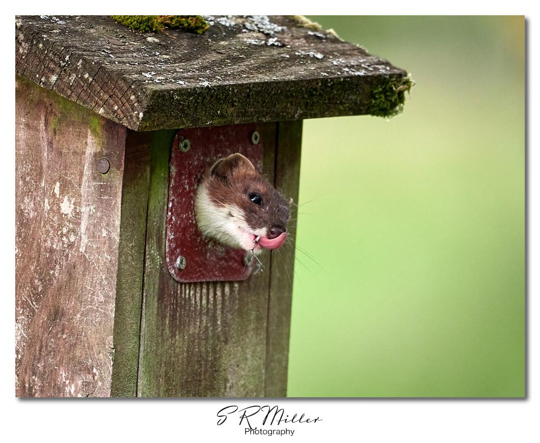 Stoat in nest box