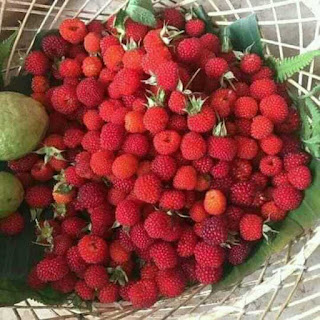 cây mâm xôi có quả màu đỏ đặc sản núi rừng miền bắc