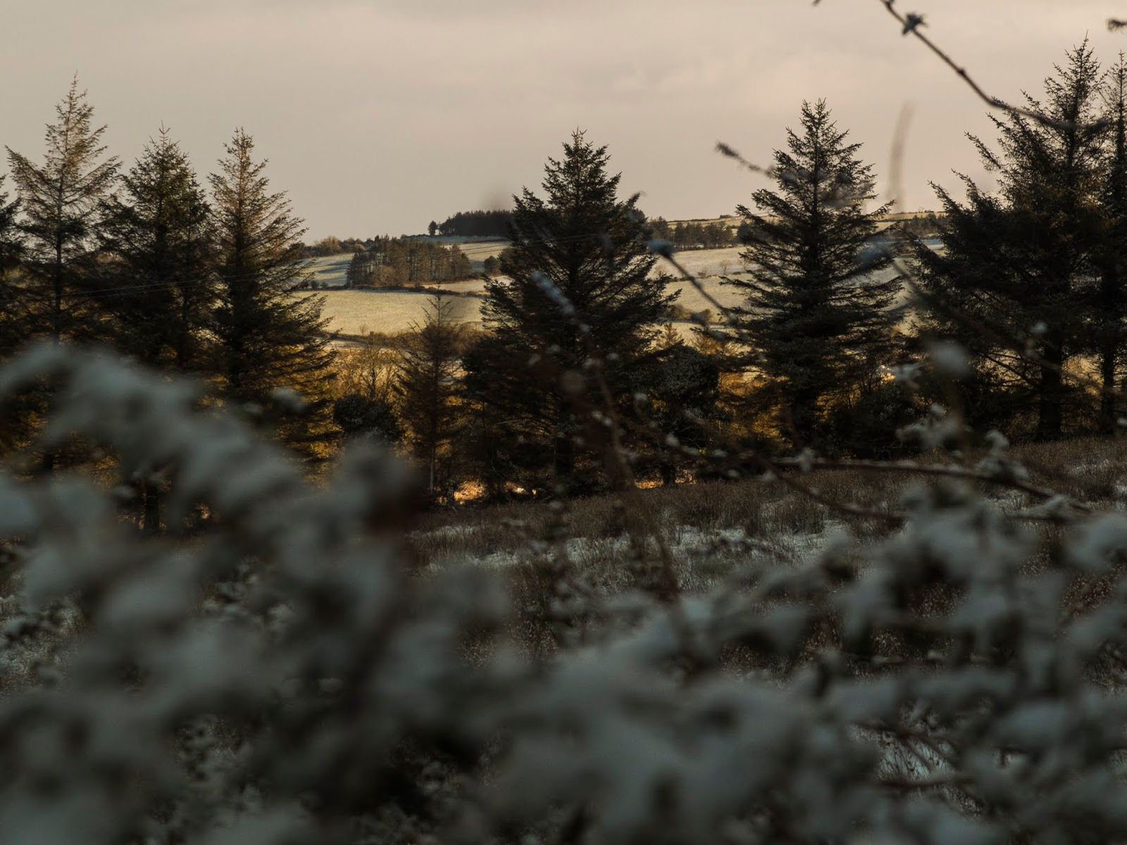 Sunset on a hillside seen though snowy branches and mature conifer trees.