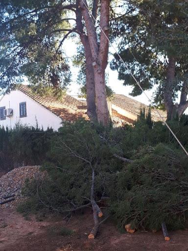 Poda de un pino de grandes dimensiones en Valencia