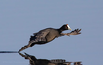 Red-knobbed Coot Canon EOS Setup and Tips For Birds in Flight Photography