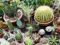 Begini Cara Simple Menanam Kaktus Hias dengan Metode Grafting
