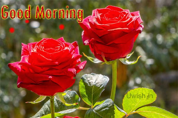 Good Morning e greeting cards and wishes with two fresh red roses.