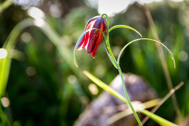 Fritillaria meleagris o Tablero de Damas